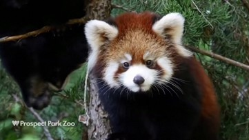 Scientists Discover the Red Panda is Actually Two Separate Species