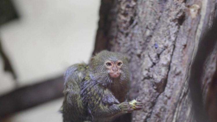 Macedonia is Home to Skopje Zoo's Baby Marmoset