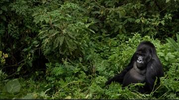 Africa's mountain gorillas also at risk from coronavirus