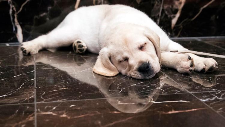 Dog Breeds Labrador retriever AP