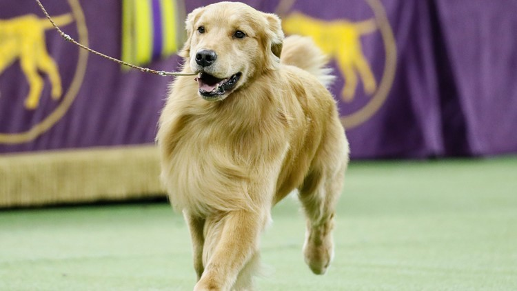 Dog Breeds Golden retriever named Daniel 2020 AP