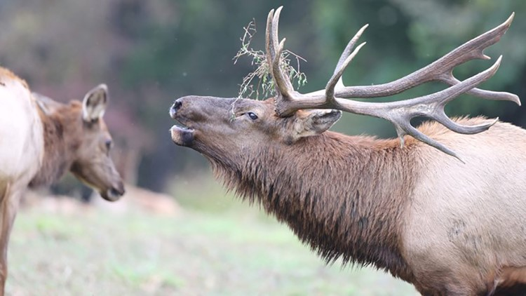 Over 4,000 Arkansans applied for an elk hunting permit; only 23 will receive one