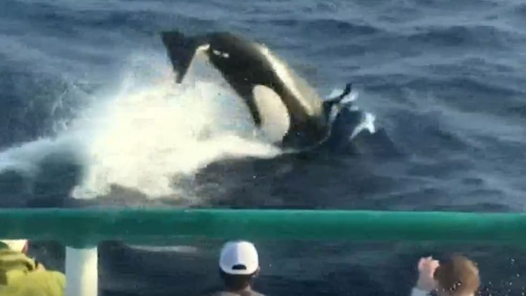 Fishing group spots large orca pod off Galveston coast