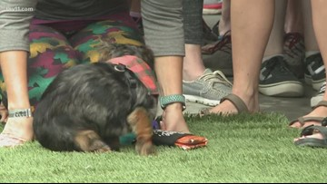 Roughly 80 central Arkansas wiener dogs race for glory
