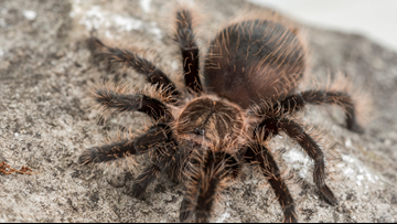 If you see a tarantula in Arkansas, they're just looking for a little love!