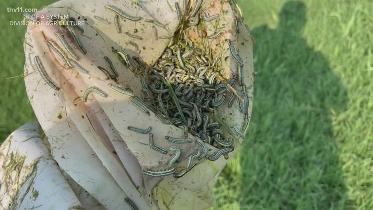 Fall armyworms destroying yards, crops in Arkansas