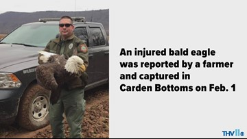 Bald eagle rescued near Holla Bend in Yell County, Arkansas