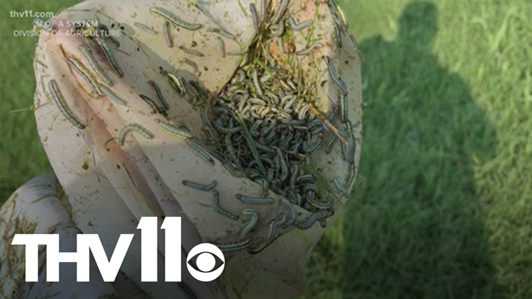 Army worms invade Arkansas, causing problems for farmers