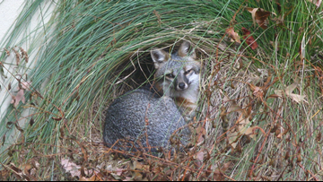 Little Rock library gets an unexpected visit from a gray fox