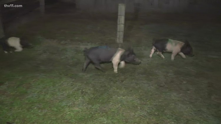 Tammy Swinette wins the pig race at Motley's just by a snout