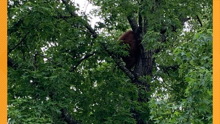 Bear found in tree at apartment complex in Cabot, according to AGFC