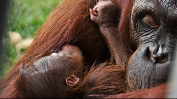 What would you name the new orangutan? Little Rock Zoo wants your help!