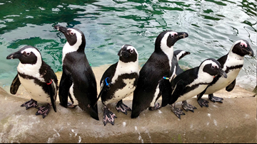 Zookeeper helps penguins and eagles live their best life at Little Rock Zoo