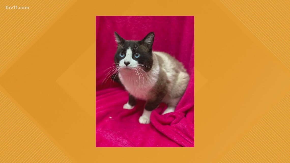 Rudy the snowshoe | Pet of the Week