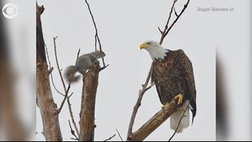 Eagle and squirrel standoff
