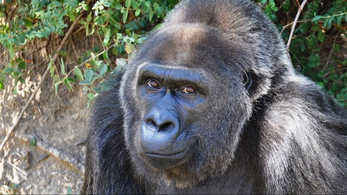 Trudy, Little Rock Zoo's oldest living gorilla dies at the age of 63