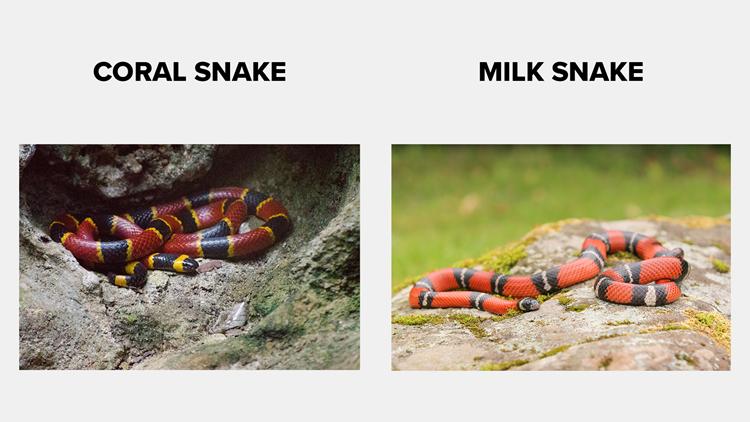 Coral snake vs Milk snake