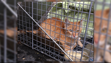 'Operation Momma Cat' kicks off capture of Larry Jr. in THV11 parking lot
