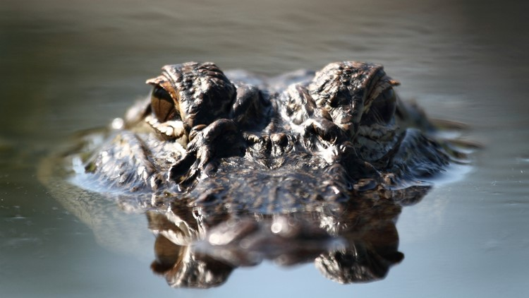 Though southeast and southwest Arkansas have been open to the hunt since 2007, this is the first year for alligator hunting in south-central Arkansas.