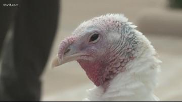 Gov. Hutchinson pardons Nelly the Turkey
