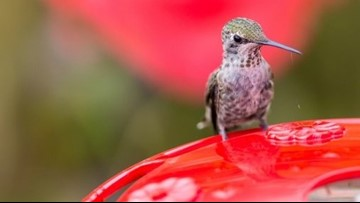 As hummingbirds flutter back to Arkansas, here's tips and tricks to keep them around