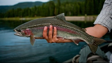 Arkansas Game & Fish Commission will stock ponds with rainbow trout through the winter