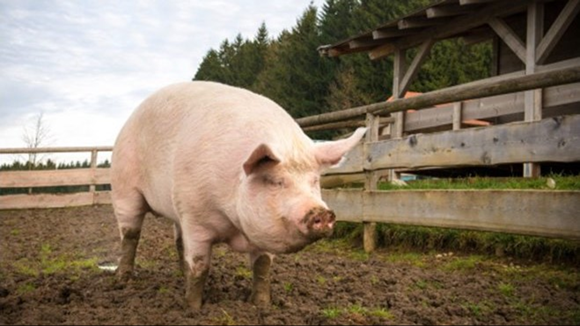 Judge upholds Arkansas hog farm's lawsuit against state