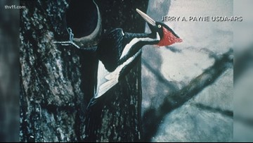 Where are we now? The ivory-billed woodpeckers