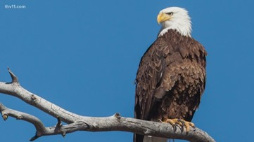 11 Listens: Bald Eagles in Arkansas