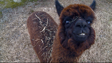 Alpaca craze on social media comes with limitations in Arkansas