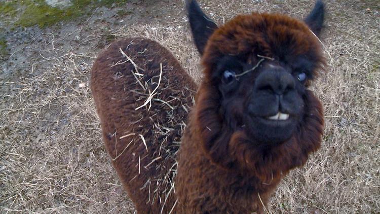 Alpaca craze on social media comes with limitations in Arkansas