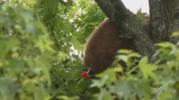 Bear found in tree at Cabot apartment complex
