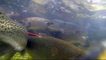 Fish hatcheries will keep flowing in Arkansas despite the government shutdown