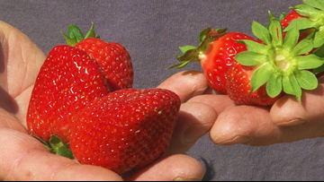Cabot farmer predicts a short but sweet strawberry season