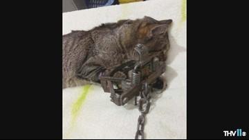 Cat caught in illegal trap has leg cut off