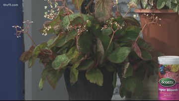 Growing Begonias indoors can be easy