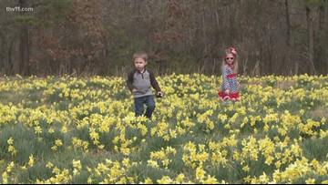 Daffodils finally blooming on Wye Mountain
