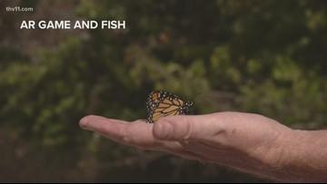Monarch butterfly population up in Arkansas
