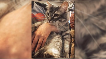 Simba Ray, the adventurous, courageous kitty needs a home