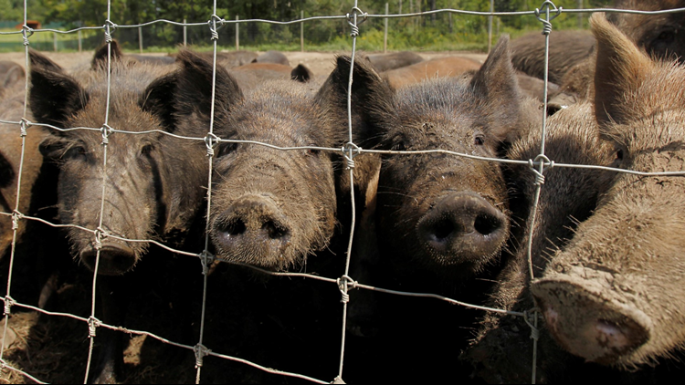 USDA announces $3.4 million award for pilot projects to control feral hogs in Arkansas