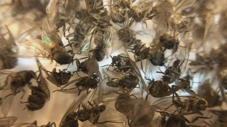 11 Listens | Can we expect a large population of Buffalo gnats in 2019?