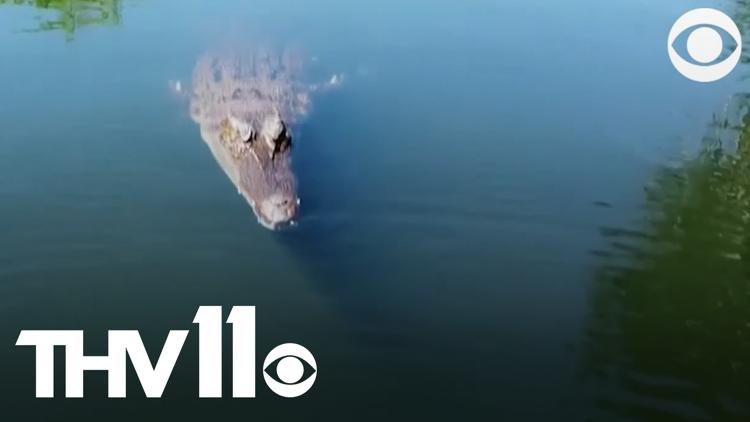 Crocodile attacks drone in Australia