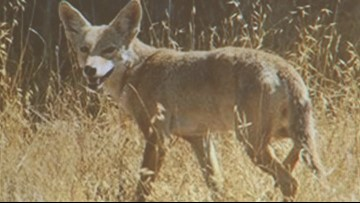 New permit means open season for hunting many furry predators