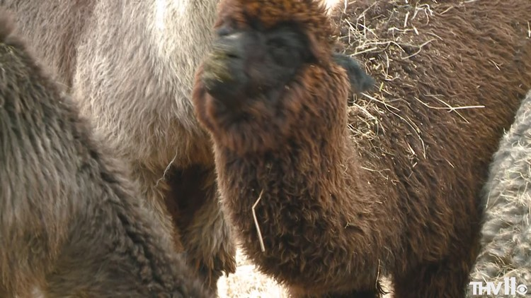 Here's why the alpaca craze on social media comes with limitations in Arkansas