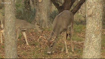 Urban deer hunting could be coming to Little Rock