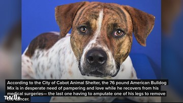 American Bulldog Mix in need of foster ASAP