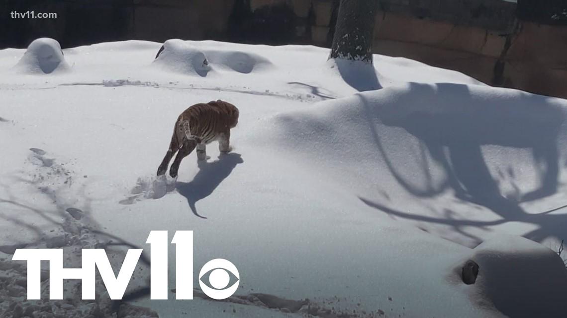 Liku the Tiger has snow day fun at the Little Rock Zoo