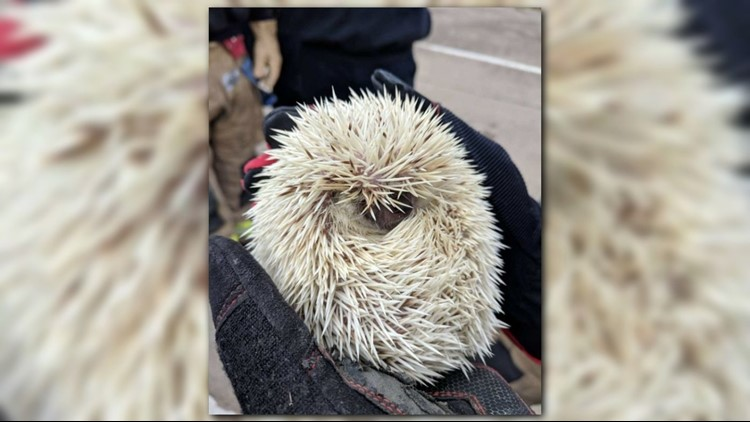 Pet hedgehog trapped in car rescued by Little Rock firefighters