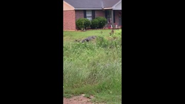 5-year-old boy has close call with alligator in southern Arkansas town