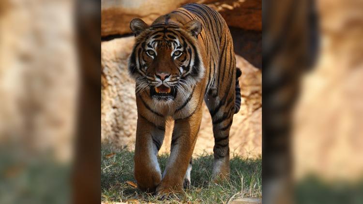 Liku, 17-year-old tiger at Little Rock Zoo, dies from kidney disease